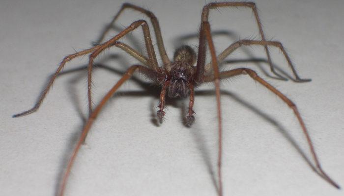 Как избавиться от коричневого паука-отшельника